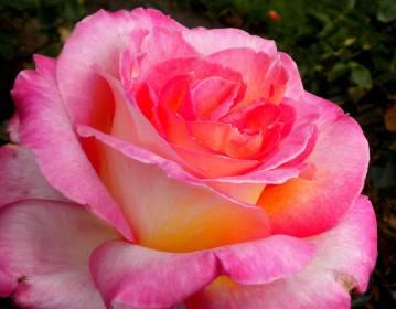 Teresa-pink-rose-web